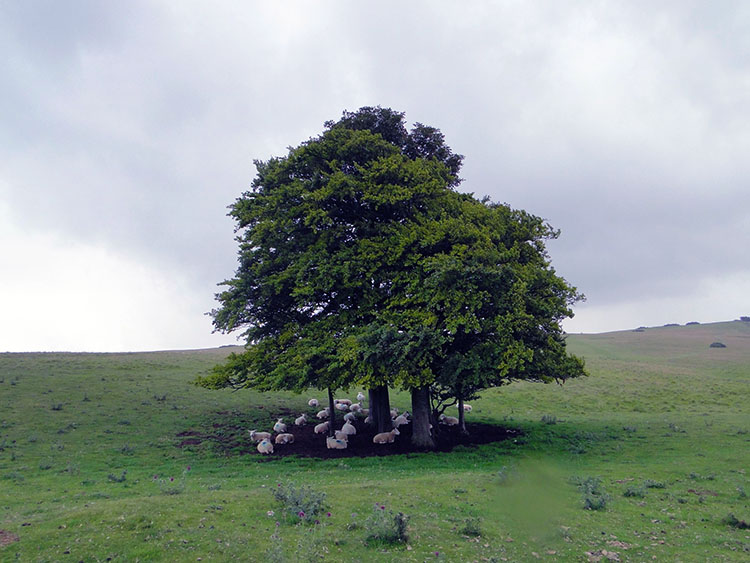 Sheep take shelter under an isolated tree