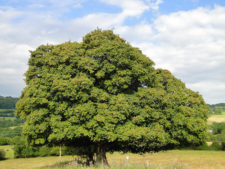 Majestic tree near Highfold Farm