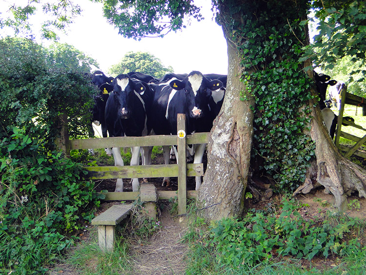 Cows block the Cotswold Way