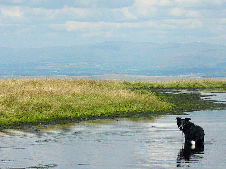A sheepdog cools down in the small tarn near the Calf