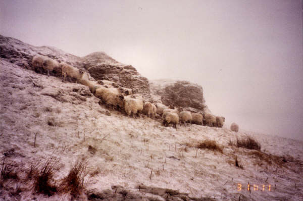Sheep on the retreat