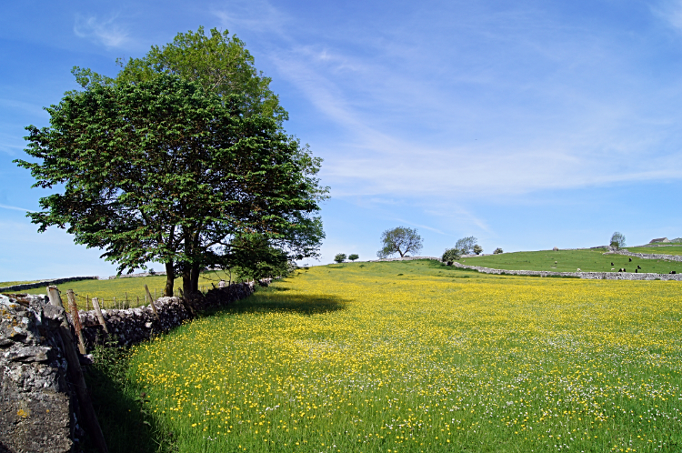 Gorgeous Buttercup meadow