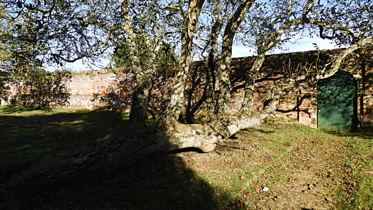 Horizontal tree next to the walled garden