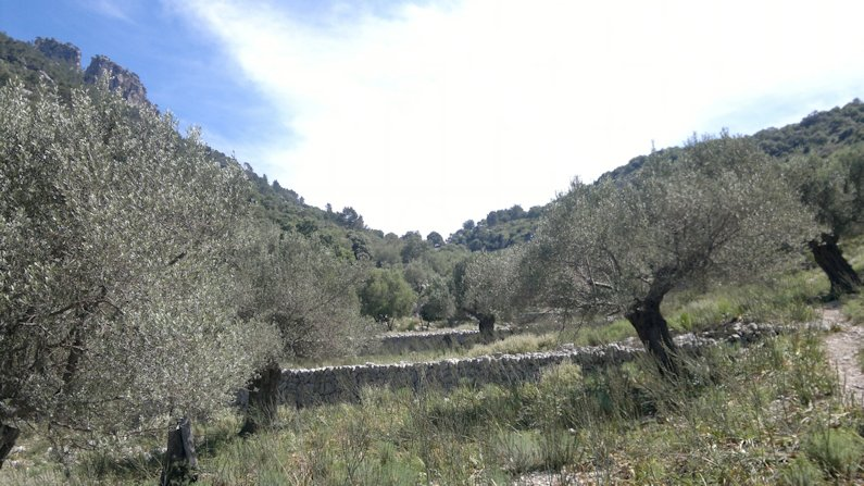 Olive trees groves
