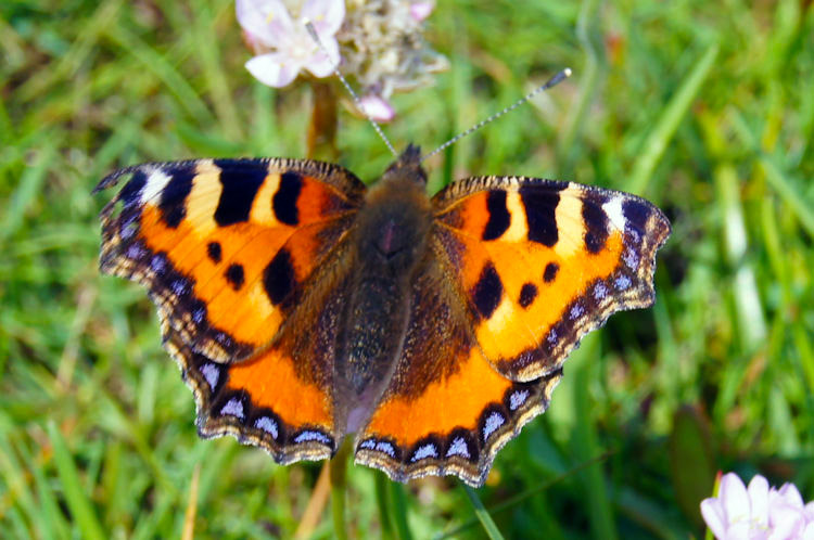 Tortoiseshell Butterfly on the Solway Firth