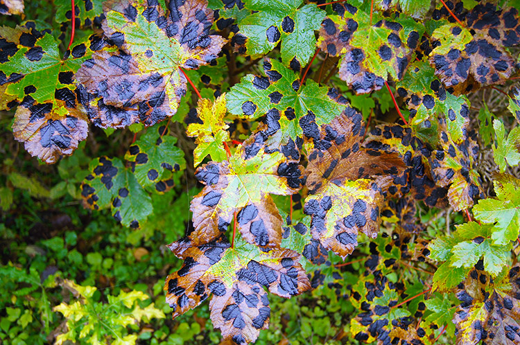 Tar Spot on Sycamore leaves