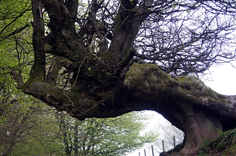 Magnificent tree in Upper Cwmbran