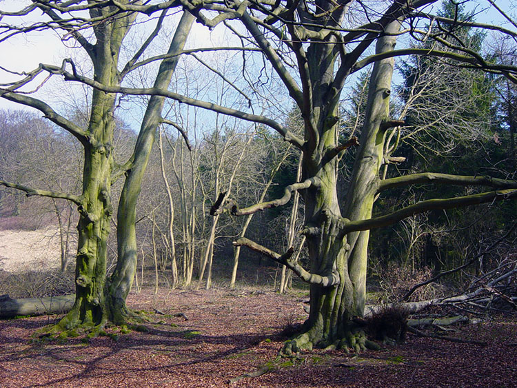 Mature trees beside the Wolds Way