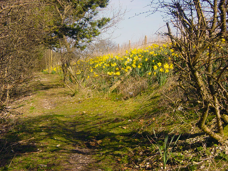 Daffodils on the Wolds Way at West Heslerton Brow