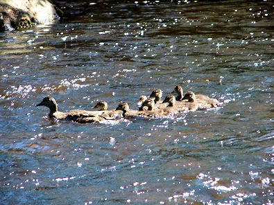 A young family in the River Nidd near New Bridge