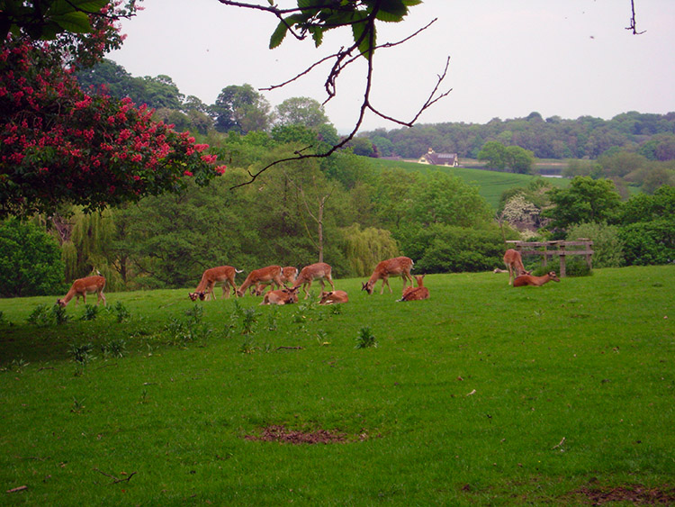 Deer relaxing in Calke Park