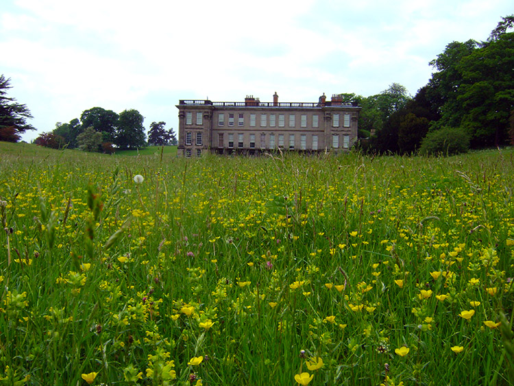 Buttercups on the approach to Calke Abbey
