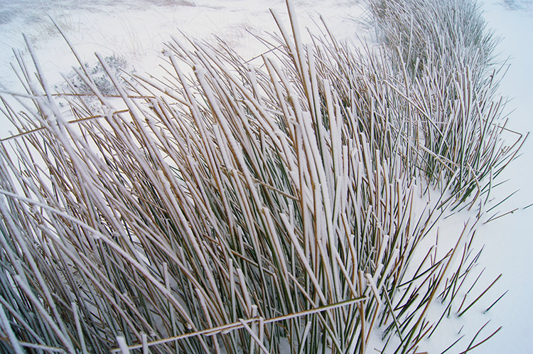 Moor grasses in winter coats