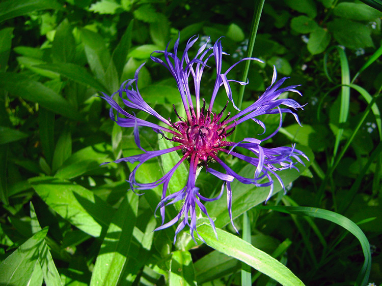 Cornflower thrives in Lower Wensleydale