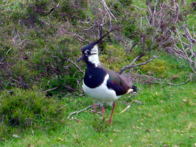 Lapwing on Clints Moor