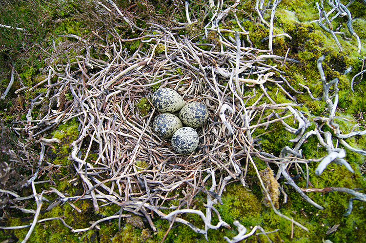Exposed Grouse eggs on Cold Moor