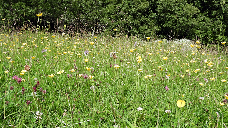 Wildflower pasture in Nettle Dale