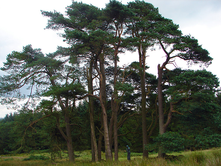 Spectacular Pine Trees