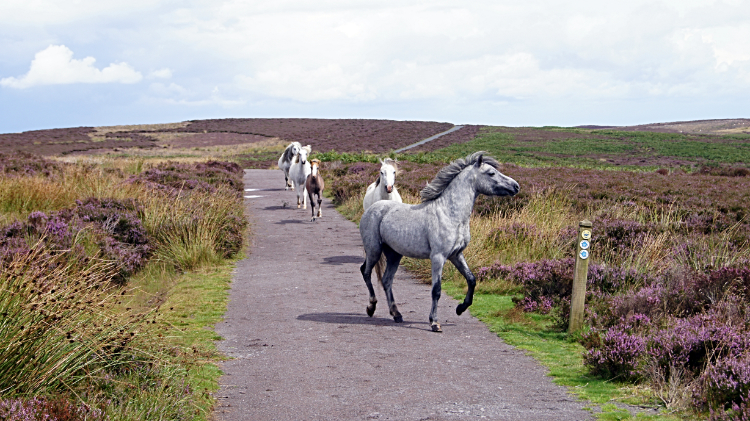Wild horses of the Long Mynd