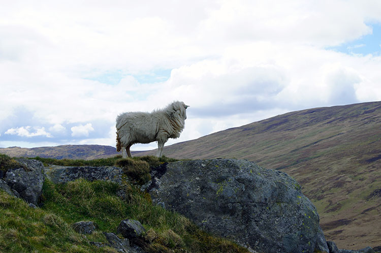 Sheep sentinel on Foel Lwyd
