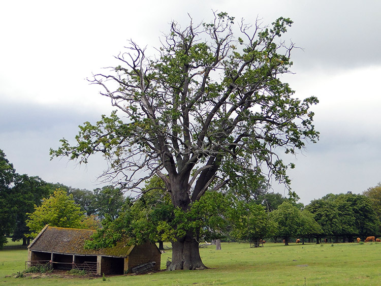 Cow Byre under tree near Stanway