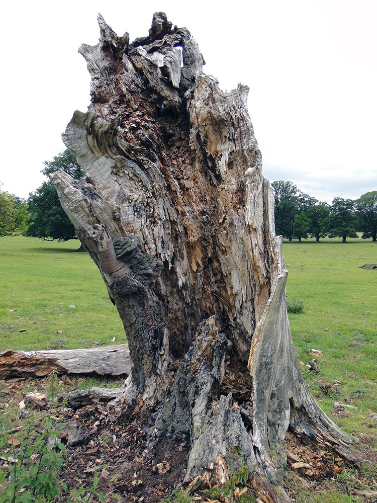 The perishing remains of a once majestic tree