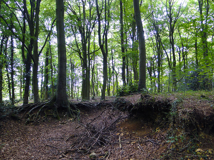Tree roots undercut in Cliff Wood