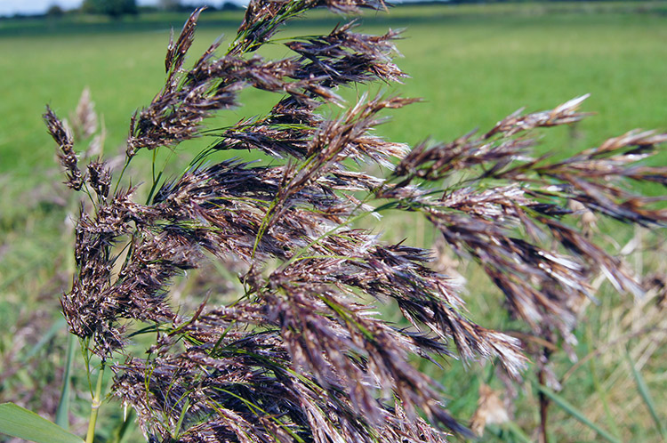 Grasses turning to seed