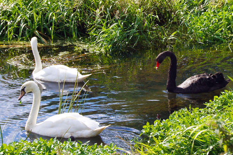 White Swans and Black Swan near Church Bridge
