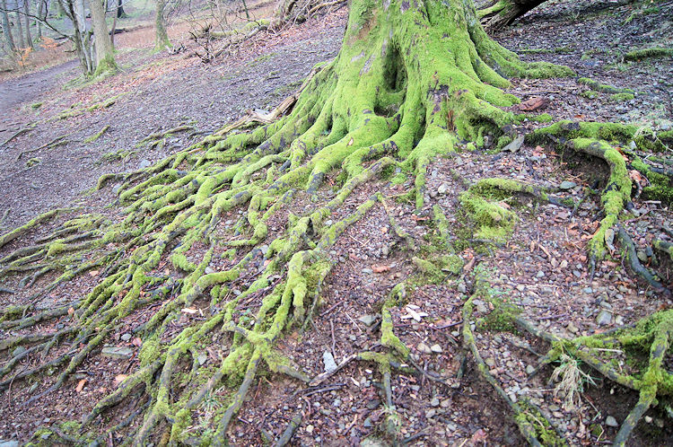 Moss covered tree roots at Steps End
