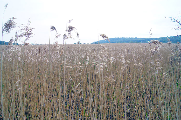 Shimmering reed grass on Leighton Moss