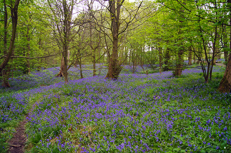 Bluebells in Spring Wood