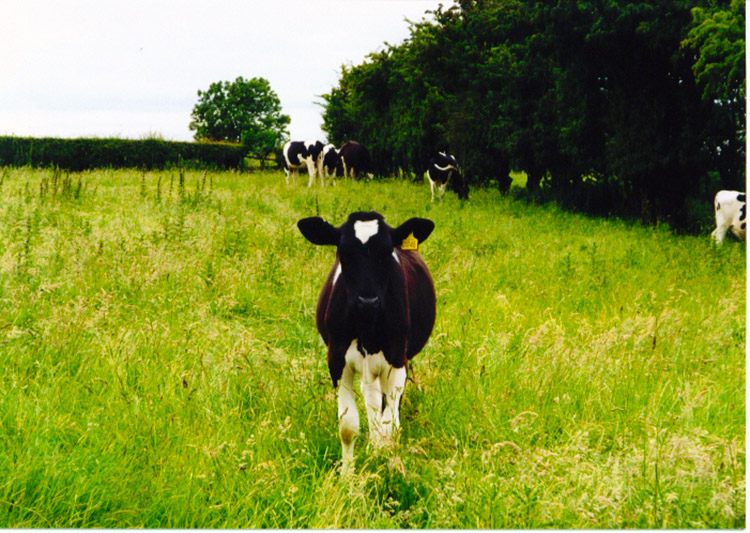 Friendly calf near Ingleby Cross