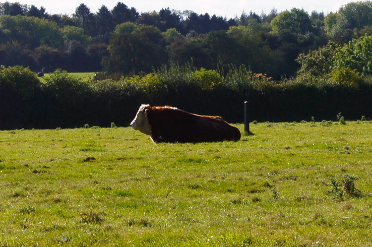 Bull in field at Chivery Hall Farm