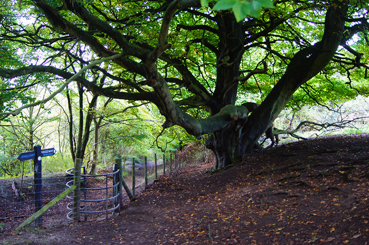 Grand old tree in Pulpit Wood