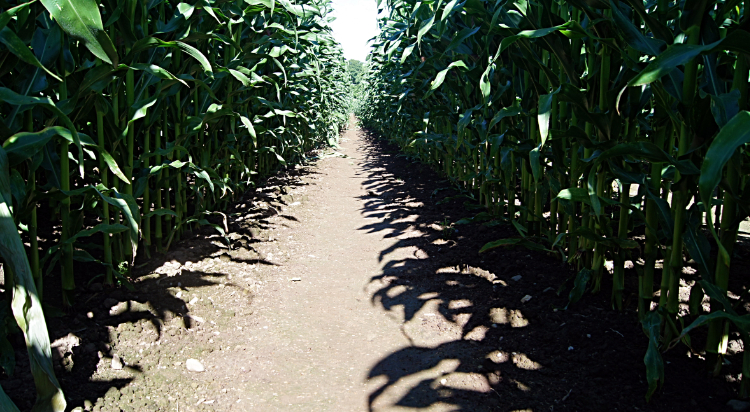 Sandstone Trail between lines of Maize