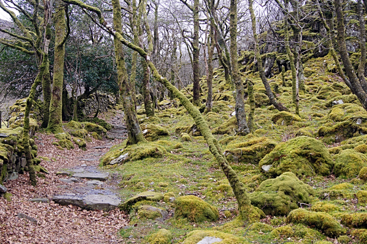 Moss covered woodland of Cwm Bychan