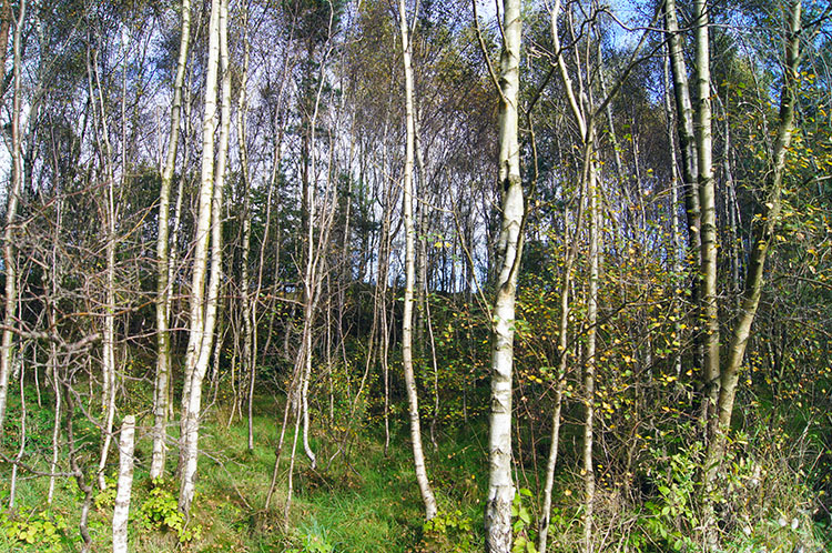 Beech coppice below Surprise View