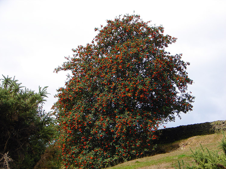 A Rowan swelled with berries