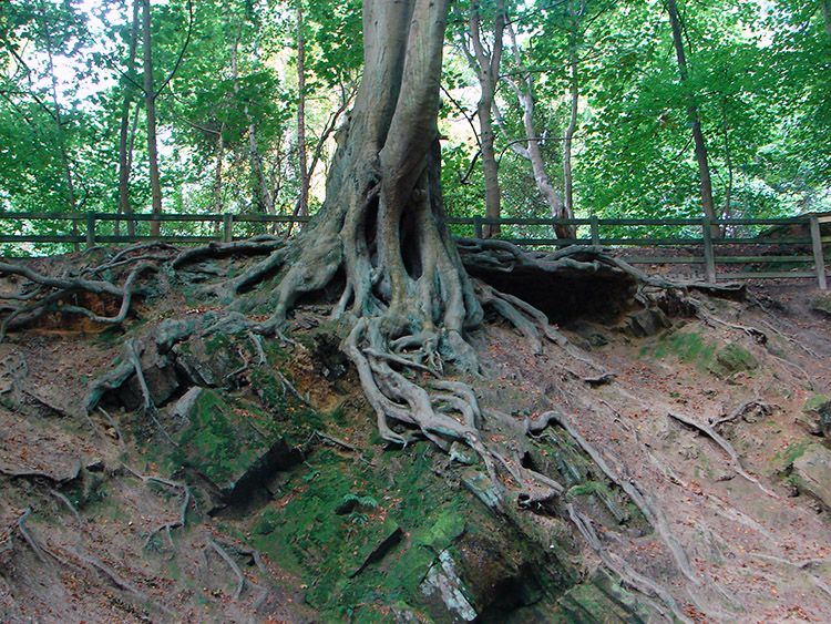 A tree holding on to the eroded bank by its roots