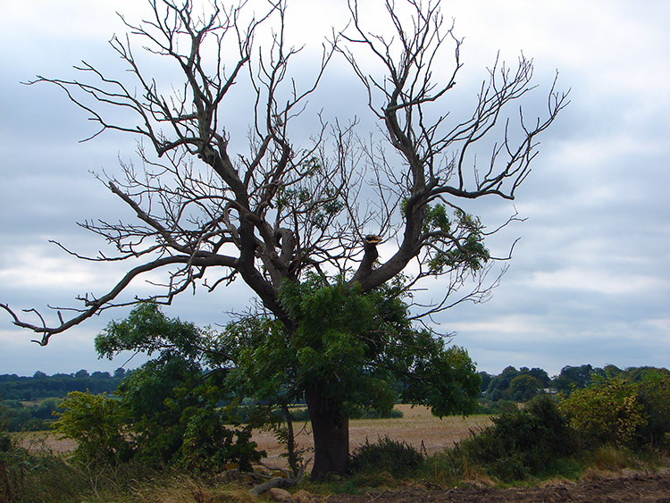 A tree appears reborn near to Rudfarlington Farm