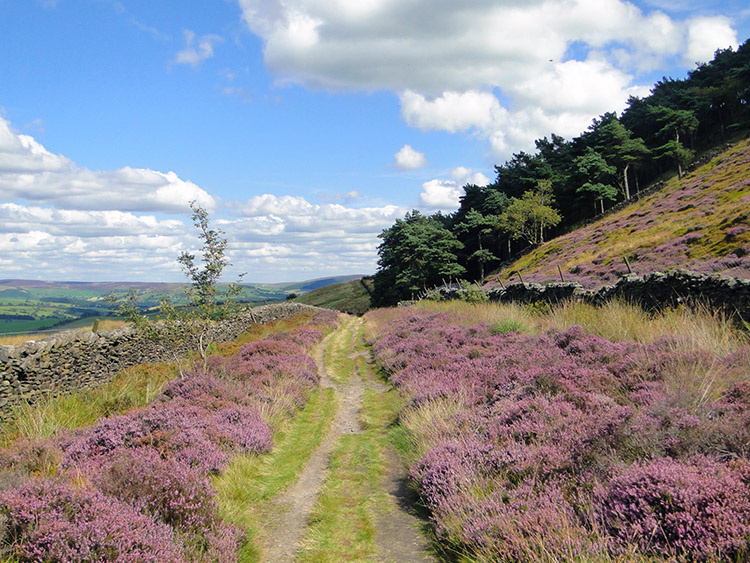 Beautiful heather in blossom lines my track home