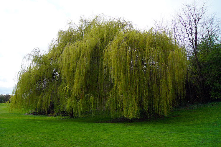 Magnificent Willow