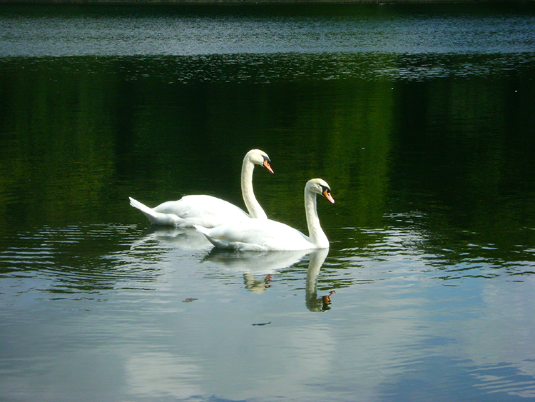 Swans in Waterloo Lake