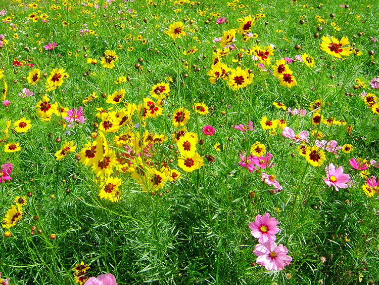 Flower meadow in Roundhay Park