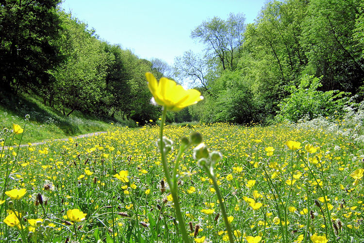 Buttercups shine brightly in Bradford Dale