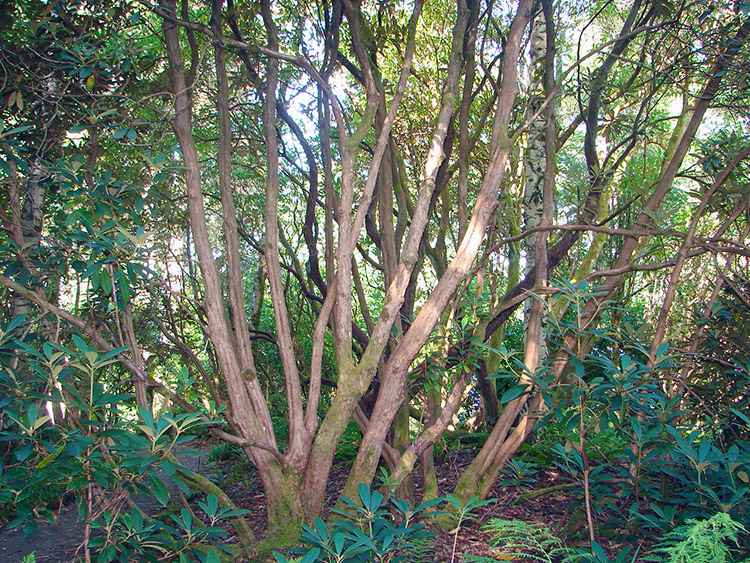 Fascinating tree trunks in Inverewe Garden