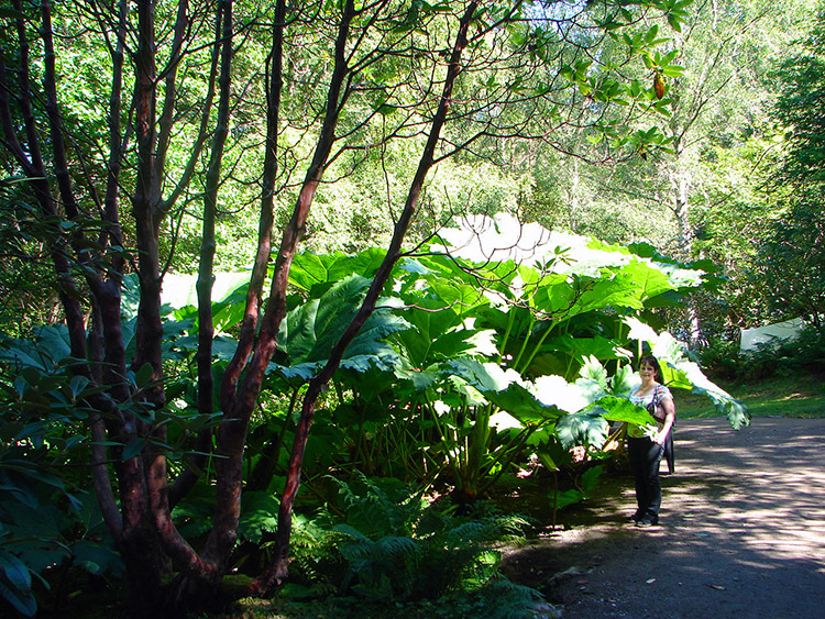 Giant plants in Inverewe Garden