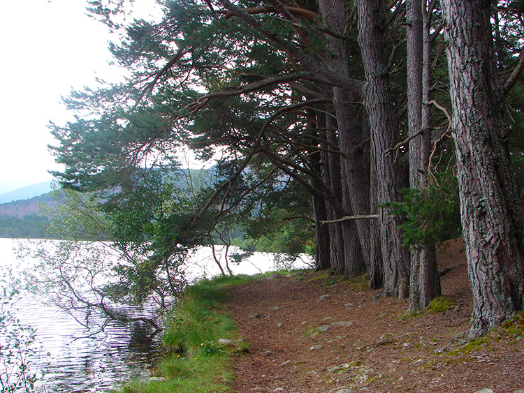 Trees stand to attention at the loch edge