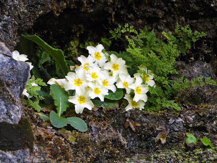 Resilient Primroses at the Bone Caves